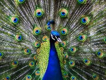 Peacock - Images may be protected by copyright