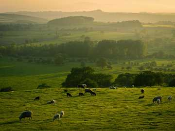 Spring evening in Yorkshire. - herd of sheep on green grass field during daytime. North Yorkshire, UK