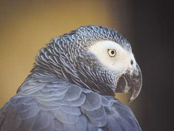 close up of the head of a gray parrot - white and black bird in close up photography.