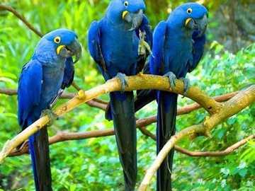 NIEBIESKIE PARROTY - niebieskie papugi na gałęzi nad rzeką
