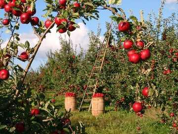 Sad jabłkowo-czerwony - Jabłoń-huertro czerwona jabłoń
