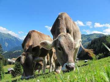 Krowy -Austria- Pastwisko-Krajobraz - Krowy - Austria - Pastwisko - Krajobraz
