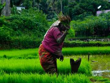 Woman Farmer - woman picking plants. Nedumangad, India