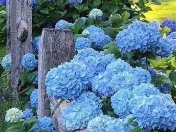 Hortensje. - kwiaty. Niebieskie hortensje.