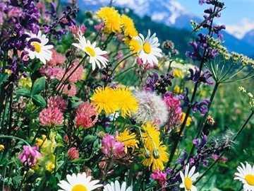 dzikie kwiaty wysoko w górach - łąka dzikich kwiatów wysoko w górach