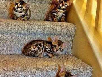 Kitałki :) - Kocięta bengalskie na schodach