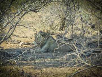 Król dżungli - lew leżący na polu trawy w ciągu dnia.