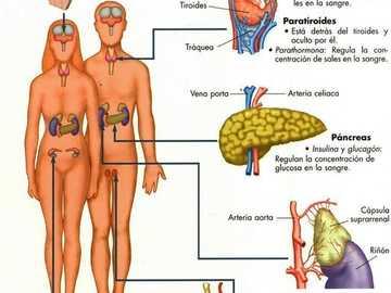 SISTEMA NEUROENDOCRINO - El Sistema Endocrino está constituido por glándulas que sintetizan y liberan hormonas al torrente