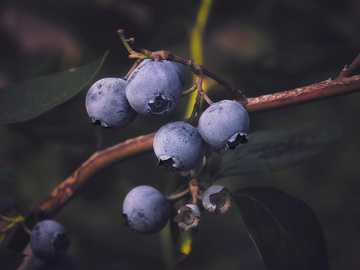 close up photo of black round fruits - Pick your own Blueberries (Larriland Farm). Mt Airy, MD, USA