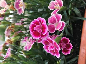 Letnie kwiatki - Goździki są pięknymi kwiatami
