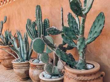 Kaktusy ... - Kaktusy.................