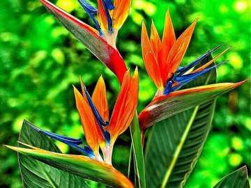 Strelicja królewska - Strelicja królewska - rajski ptak