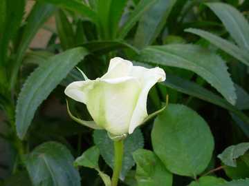 e... sempre la più belle - Nel bel mezzo di tante rose, lei mi da la felicità!