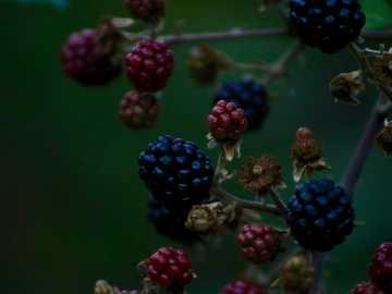Brombeerfrüchte - Natur Blaubeeren .