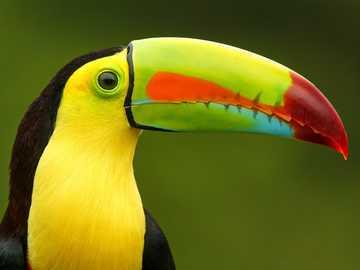 zwierzę z dżungli - jest to zwierzę o pięknych kolorach i występuje w dżungli