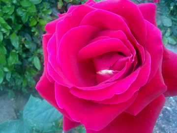 flor hermosa - es de color fucsia y es muy bonita