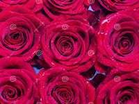 9 fucsia rosas