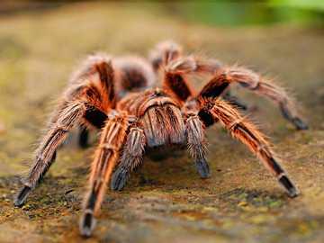 Brazylijski pająk - Pająki to zwierzęta, które mają 8 nóg, 2 części ciała i wiele oczu. Są ważnymi zwierzętam