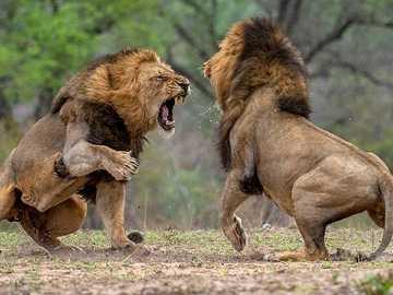 Lwy walczą o władzę - Lwy walczą o władzę