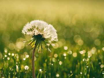 Dandelion in the grass - white dandelion closeup photography.