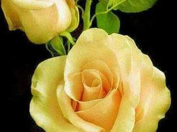 Very pretty yellow roses - Very pretty yellow roses
