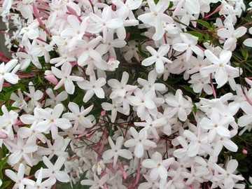 Jasmin rose doux - Jasmin rose doux =)