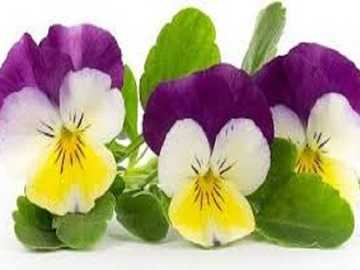 Bratki   . - Kwiatki bratki wiosenne .