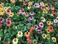 Echinacea. - Färgglada Echinacea, fjärilsblommor.