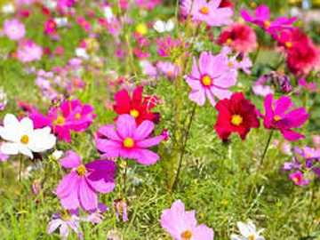 Blooming Cosmos. - A blossoming meadow of cosmos.