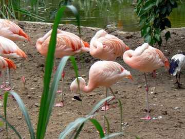 Warschau - ZOO - Eine Herde rosa Flamingos.