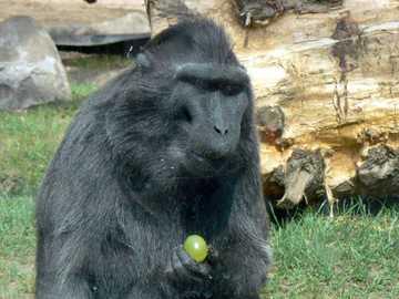 Warschau - ZOO - Gorilla mit Trauben essen oder nicht?