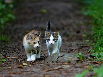 w lesie z przyjacielem - biały brązowy i czarny kot na brązowych suszonych liściach. Alikon, Sins, Szwajcaria