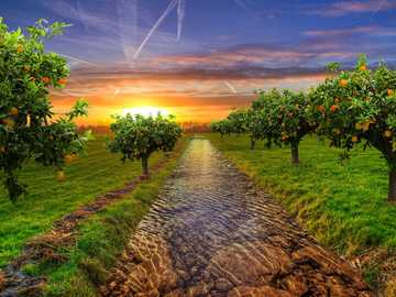 Orange trees - sunset over the orange garden