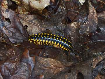 black and yellow caterpillar on dried leaf - The forest floor is kept alive with the movement of these colorful insects. They rummage through the