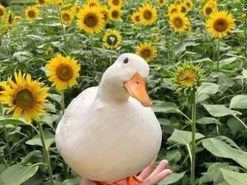 What a beautiful duck! - Duck among beautiful sunflowers