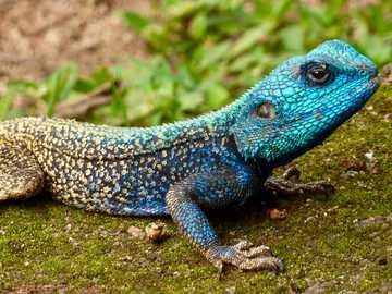 Tree Agama, Manzini Suazi - niebieska i szara jaszczurka w ciągu dnia. Suazi