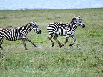 zebra na zielonej trawie w ciągu dnia - Zebry w parku narodowym Lake Nakuru, Nakuru, Rift Valley, Kenia. Lake Nakuru, Nakuru, Kenia