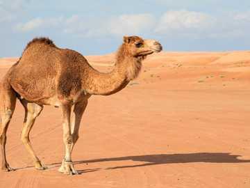 CAMEL IN DESERT - Descrierea animalelor pentru clasa mea de vorbire