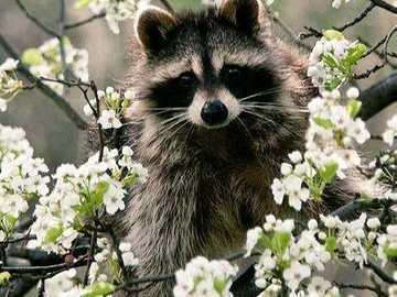 Szop ..... - Szop na drzewie ....