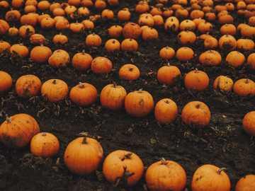 Orange und Orange Kürbis viel - Kürbispflücken am Patch! . Leeds, Großbritannien