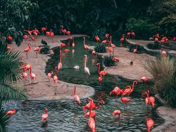 Amour de flamant rose - troupeau de photographie de la faune de flamant rose.