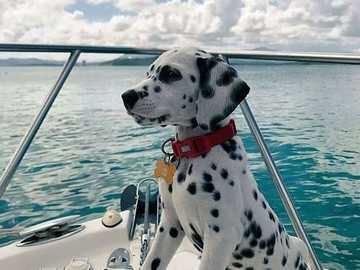 mały żeglarz - mały dalmatyński żeglarz na pokładzie