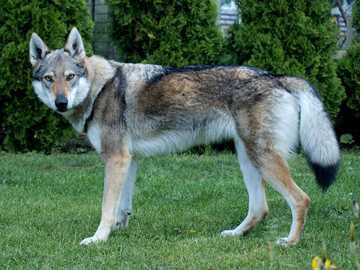 Wilczarz czechosłowacki - Czechosłowacki wilczarz - piękny pies