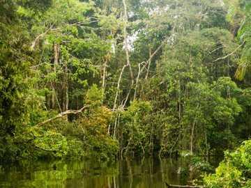Amazonas - Bäume - Amazonas - Bäume - Dschungel