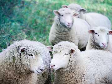 pięć białych owiec na zielonej ziemi - moment połączenia między dwoma barankami na pierwszym planie. Tarrytown, Stany Zjednoczone