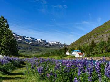 Panorama Islandii - krajobraz Islandii kwiaty i góry