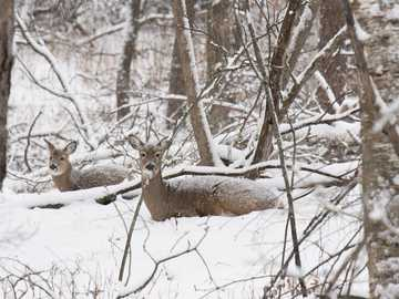Whitetail deer in winter - two brown deer sitting in the snow. Minnesota, USA