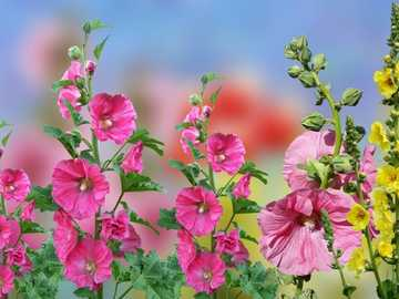 Mallow Flowers - Colorful Mallow Flowers.