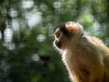 Saimiri boliviensis - close-up photography of white monkey. Zoo Arcachon Basin, France