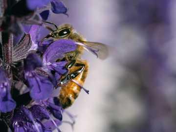 fiore viola con ape in lente tilt shift - un'ape che lecca il piatto pulito durante un picnic di primavera.